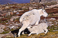 Mounatin goats (Oreamnos americanus) Nanny nursing her kid on the alpine tundra during the autumn season.  Mount Evans, Colorado.