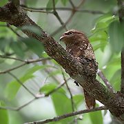 Blyth's frogmouth (Batrachostomus affinis) is a species of bird in the family Podargidae. Its natural habitat is subtropical or tropical moist lowland forest.