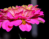 Asian Ladybeetle hiding in a Zinnia Flower. Image taken with a Fuji X-T3 camera and 80 mm f/2.8 macro lens  and popup flash (ISO 160, 80 mm, f/16, 1/30 sec).