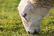 Sheep grazing, Gloucestershire, England, United Kingdom