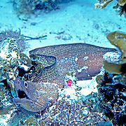 Purplemouth Moray inhabit wide range of reefs; hide during day in recesses, often extend head from openings in Tropical West Atlantic; picture taken Grand Cayman.