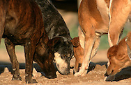 PRT, Portugal: Streunender Hund, Haushund (Canis lupus familiaris), ein Rudel Hunde riecht am Boden, wo ein läufiges Weibchen uriniert hat, Quarteira, Algarve | PRT, Portugal: Stray dog, domestic dog (Canis lupus familiaris), pack of dogs sniffing on the ground where a female in heat has urinated, Quarteira, Algarve |