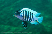 A male Metriaclima sp. Zebra Cichlid swims near a rocky reef in Lilkoma Island, Lake Malawi, Malawi, Africa.