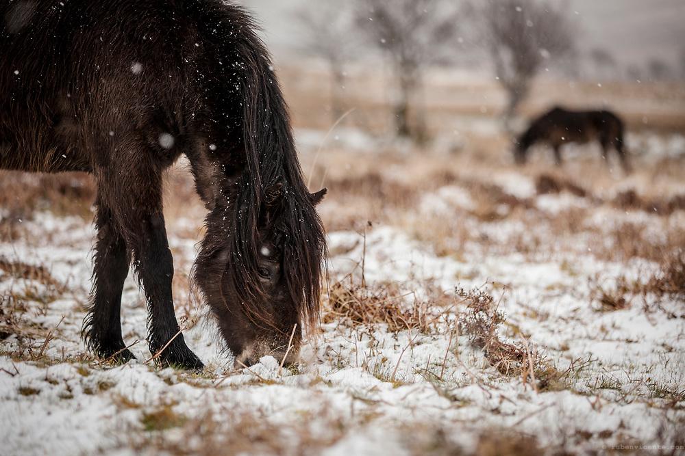 Exmoor Pony in the snow. England