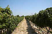 Israel, Judea Hills, Tzora winery and vineyards, Cabernet vines planted in marlstone type clay soil, June 2007 2 months before harvest, the white soil can be clearly seen