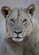 A lions watchful gaze.  This is an adult lion even though his mane is thin.  In the past the lions were hunted in the area and the ones with the biggest manes were preferred. Some lons with thinner manes survived and passed on the trait.  South Luangwa is currently a national park so the lions are now protected.