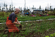 LIVING OFF THE GRID<br /> Jennifer Castellani harvesting leek at their organic farm. In the back ground is a trailer where the summer interns Rachel Burke and Josh Jasso from Tuscon, AZ are staying.<br /> Anchor Point, Alaska, USA