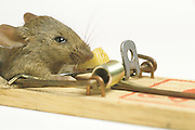 mouse on mouse trap