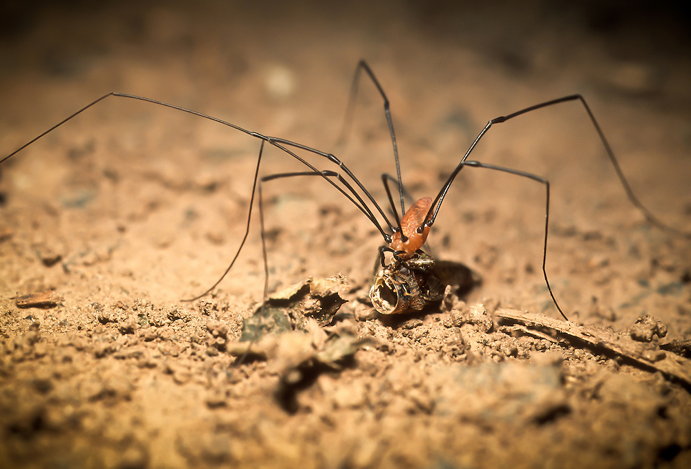 Daddy Long Legs Spider searching for a meal.