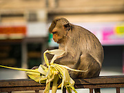 30 NOVEMBER 2014 - LOPBURI, LOPBURI, THAILAND:  A Long Tailed Macaque monkey eats a snack in Lopburi. Lopburi is the capital of Lopburi province and is about 180 kilometers from Bangkok. Lopburi is home to thousands of Long Tailed Macaque monkeys. A regular sized adult is 38 to 55cm long and its tail is typically 40 to 65cm. Male macaques weigh around 5 to 9 kilos, females weigh approximately 3 to 6 kg. The Monkey Buffet was started in the 1980s by a local business man who owned a hotel and wanted to attract visitors to the provincial town. The annual event draws thousands of tourists to the town.   PHOTO BY JACK KURTZ