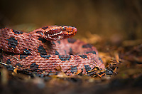 a red pygmy rattlesnake waits paitently to ambush its prey along the edge of the swamp