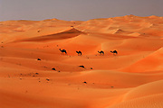 "United Arab Emirates: Abu Dhabi Province.A camel train crossing the desert near the ""Empty Quarter"""
