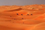 "United Arab Emirates: Abu Dhabi Province.A camel train crossing the desert near the ""Empty Quarter"""