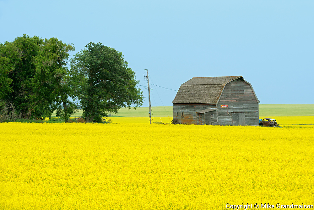 Canola, shelterbelt and barn, Saint Leon, Manitoba, Canada
