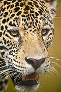 Cuiaba_MT, Brasil...Onca-pintada preta (Panthera onca) no Zoologico da UFMT (Universidade Federal do Mato Grosso)...Black jaguar (Panthera onca) in the Zoological of  UFMT (Federal University of Mato Grosso)...Foto: JOAO MARCOS ROSA  / NITRO..