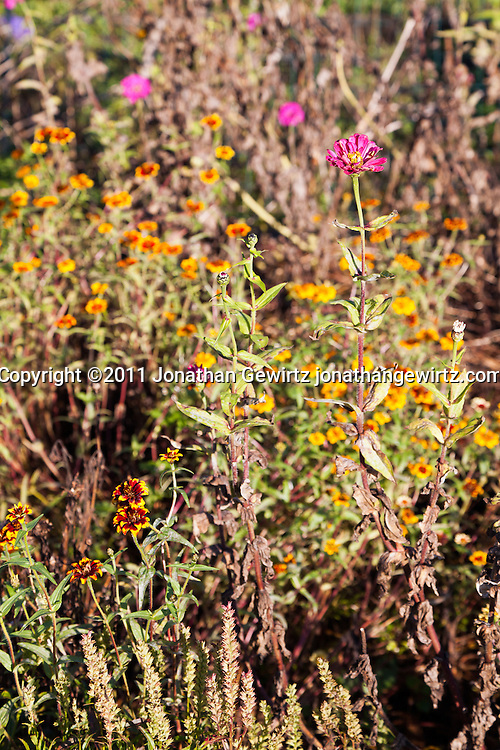 Wildflowers in a community garden. WATERMARKS WILL NOT APPEAR ON PRINTS OR LICENSED IMAGES.