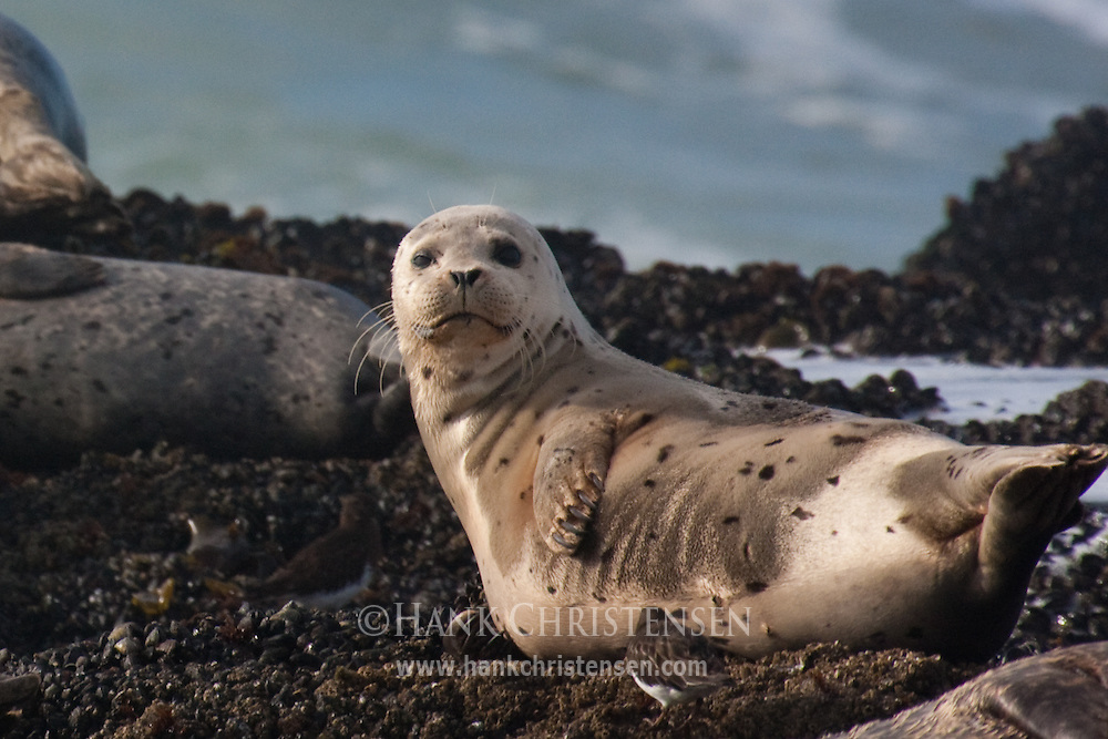 A young harbor seal looks up from a nap, Pescadero State Beach