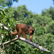 The stump-tailed macaque (Macaca arctoides), also called the bear macaque, is a species of macaque found in Thailand and Asia.