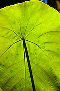 Miconia plant, Hawaii
