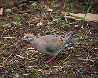 Mourning Dove in my Garden. Spring in New Jersey. Image taken with a Fuji X-T2 camera and 100-400 mm OIS lens (ISO 200, 400 mm, f/6.4, 1/125 sec).