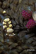 clown anemone shrimp, Periclimenes brevicarpalis, in anemone, Heterodactyla hemprichii, Witu Islands, Papua New Guinea ( Bismarck Sea )