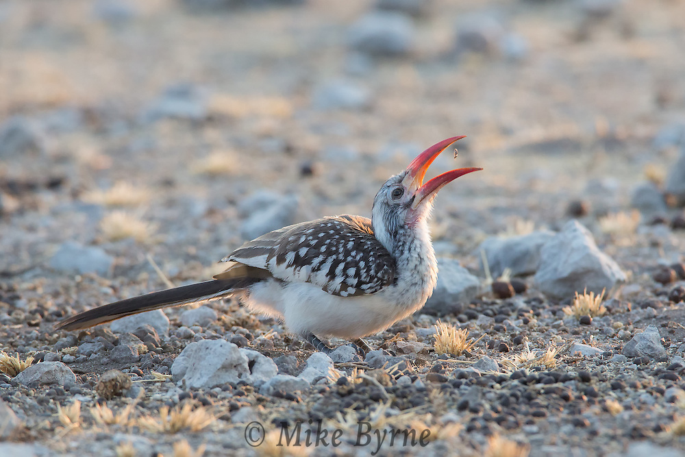 Red-billed hornbill near Namutoni, Etosha National Park, Namibia.
