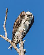 Osprey carefully rubs eyelid with curved upper side of talon, © 2015 David A. Ponton