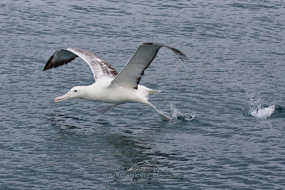 Southern Royal Albatross, Otago Peninsula, New Zealand