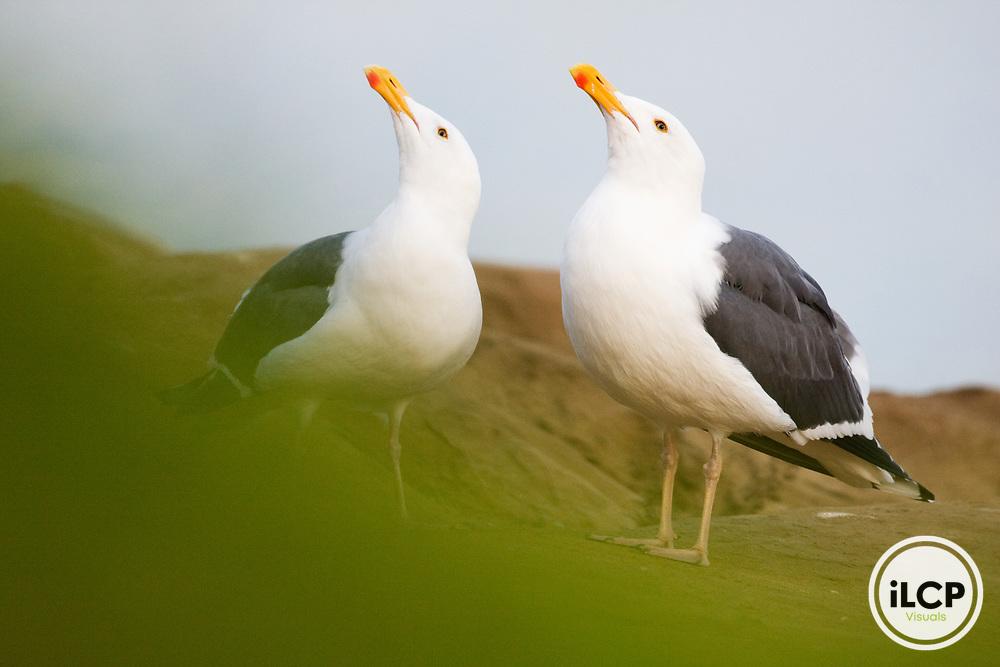 Western Gull (Larus occidentalis) pair courting, La Jolla, San Diego, California