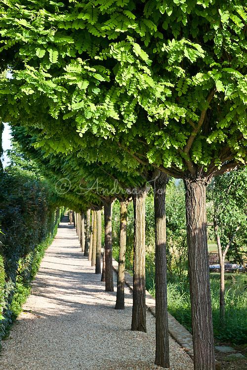 Robinia pseudoacacia (Black locust, false acacia). Borgo Santo Pietro, Chiusdino, Siena, Italy.