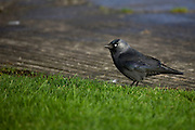 Jackdaw, corvus mondedula -  the smallest crow