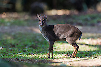 Blue Duiker, Mlilwane Game Reserve, Big Game Parks, Swaziland