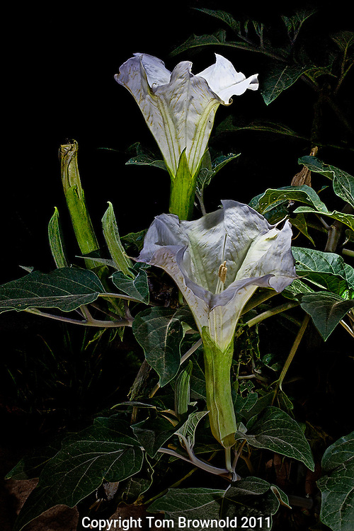 Illuminated with a flashlight; The Sacred datura blooming for the night.