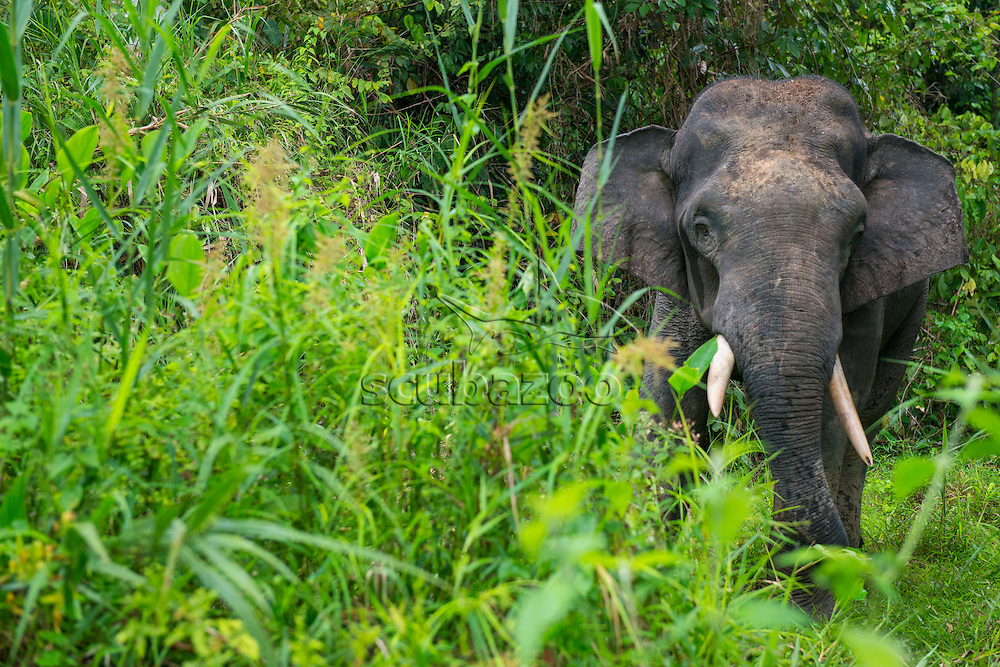 A male Bornean Pygmy Elephant, Elephas maximus borneensis, in long grass by the river, Kinabatangan River, Sabah, Malaysia.