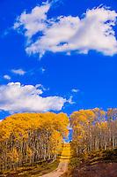 A grove of aspen trees in autumn on a road on Wilson Mesa in the San Juan Mountains, near Telluride, Colorado USA.