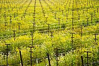 Winter Vineyard Mustard Bloom / Silverado Trail, Napa Valley, California