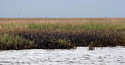 07 June 2010. Pointe aux Chenes, Louisiana.<br /> Fading away. Booms fail to protect precious wetlands south of Pointe Aux Chenes where oil washes up on the  marsh grasses. If the grass dies, there is nothing left to hold the land. All of this was solid ground just 100 years ago. Diversion of the mighty Mississippi River diverted sediment from the wetlands and deposited precious land building material deep out at sea.  At present, all these fishing grounds are closed. Members of the Pointe aux Chenes Indians, settlers that can trace their roots beyond 5 generations back to France face extinction of their very way of life, their very existence. French cajun is the language of the elders, but is dying out in the children of today. BP's catastrophic oil spill threatens everything, their way of life and the land on which they live. Not recognised by the federal government, the 680 member tribe struggles for funds in a small community that survives only because of fishing and oil extraction in the Gulf of Mexico.<br /> Photo; Charlie Varley/varleypix.com