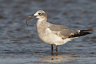 Laughing Gull - Larus atricilla - 1st winter
