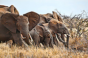 Elephants running after picking up the scent of humans and lions , Kenya, Africa  (photo by Wildlife Photographer Matt Considine)