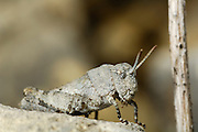 Rotflügelige Ödlandschrecke (Oedipoda germanica) im Larvenstadium | Larva of the German grasshopper (Oedipoda germanica)