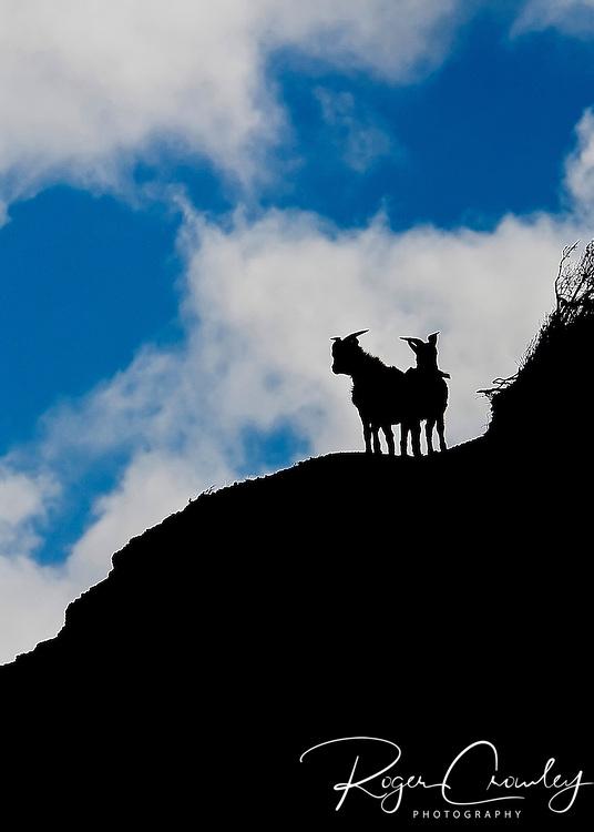 Mountain goats are crossing a ridgeline in Waimea Canyon, Koke'e State Park, Kalalau Lookout, Kaua'i, Hawaii