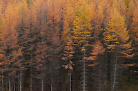 Fir trees, tall trees in autumn, Scottish highlands.