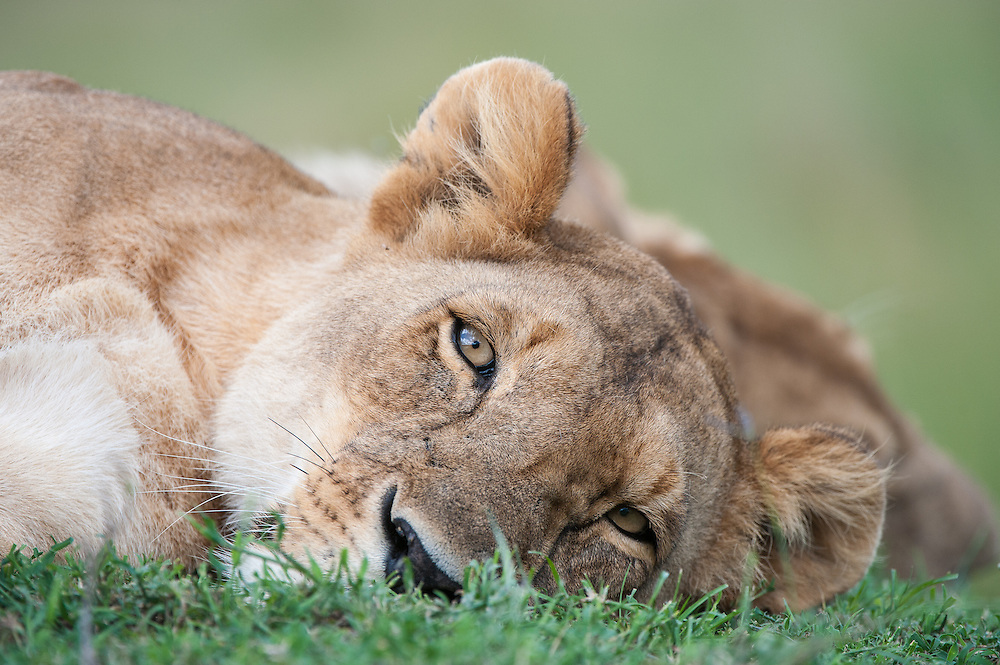 Portrait of female lion (Panthera leo) resting on grassland