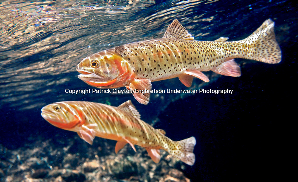Colorado River Cutthroat Trout<br />