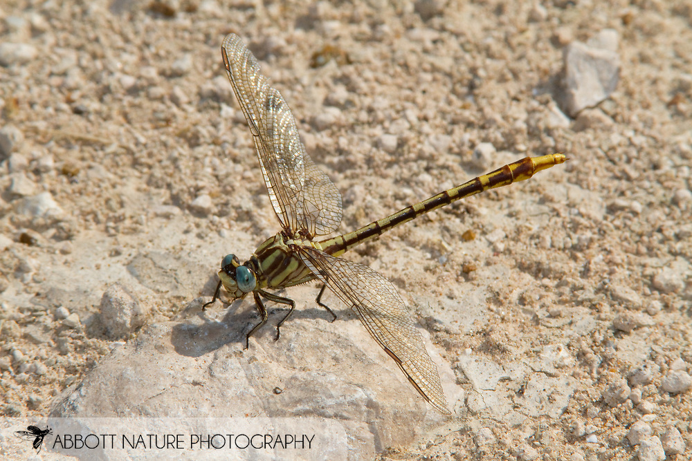 Sulphur-tipped Clubtail (Phanogomphus militaris) - female<br /> TEXAS: Hidalgo Co.<br /> NABA International Butterfly Park; Mission<br /> 28-May-2010<br /> J.C. Abbott