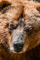 Coastal Brown Bears, Fortress of the Bear (wildlife sanctuary), Sitka, Alaska USA.
