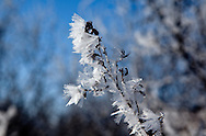 Hoarfrost on tree in park off of Scherbel Rd near Black Earth, Wisconsin.