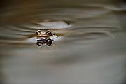 Ein Erdkröten (Bufo bufo ) Männchen ist im Frühjahr zu seinem angestammten Laichgewässern gewandert. hier sucht es die Uferbereiche nun nach einem Partner ab. Selent, Deuschland