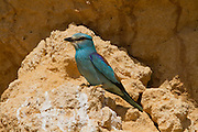 European roller (Coracias garrulus) on a branch. This migrant bird is the only roller bird family member to breed in Europe. It is also found in the Middle East, Central Asia and Morocco, and winters in southern Africa. It often perches conspicuously in the tops of trees, where it can spot prey such as insects and lizards, although it is known to take small birds, frogs and mammals. Photographed in Northern Negev, Israel