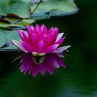Water Flowers-99